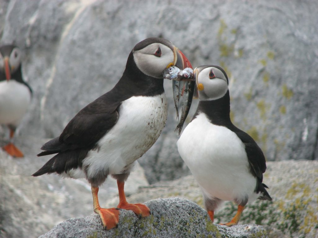 Puffins Eating Maine Tours
